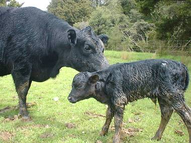 Abigail with her new-born calf