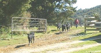 Jill encouraging some calves along the lane
