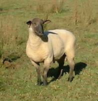 Ram, without ewes