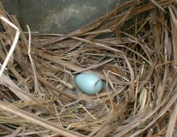 Starling egg in the mailbox