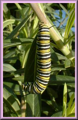 a Monarch Butterfly caterpillar on a Swan Plant