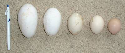 goose, duck, hen and bantam eggs