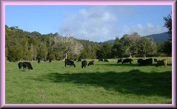a herd of cattle, grazing in a picturesque paddock