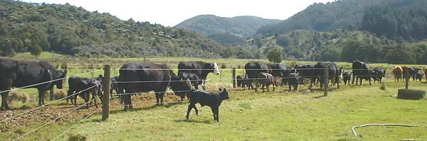 Cows and calves, walking along the lane