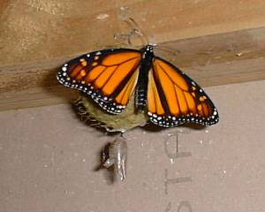 Monarch butterfly, just hatched