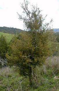 a small Totara tree, in which a Blackbird is nesting