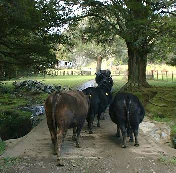 the pregnant heifers walking over the bridge
