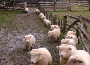 Sheep walking single file to avoid the deepest mud