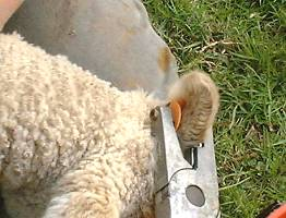 applying an ear tag to a lamb