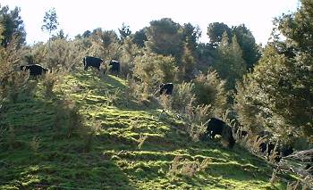 Young cattle, lots of gorse, and some grass