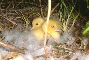 two Muscovy ducklings in their mother's nest