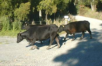 Ranu, Irene and Sybil crossing the road from the hill paddock