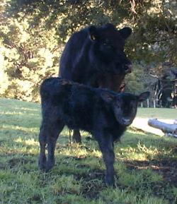 Queenly and newborn calf