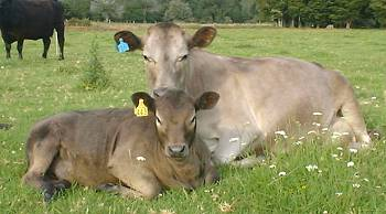 #16 and her calf, lying in the sunshine