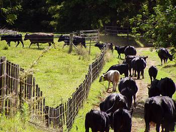 cattle in the lanes