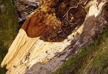 the rotten trunk of a fallen Puriri tree