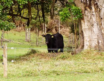 bull in a Puriri reserve