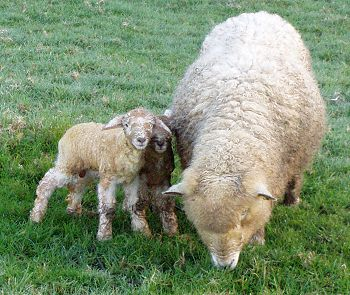 Babette and her twin ram lambs