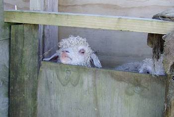 goats standing in a foot-bath