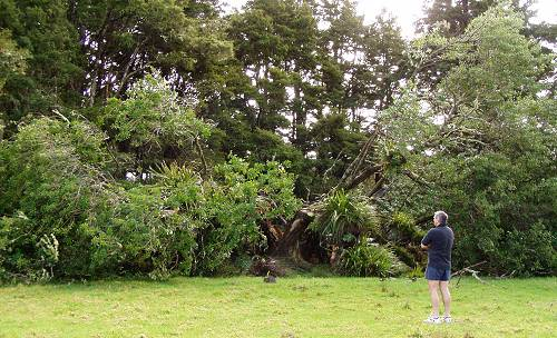 the completely fallen Puriri