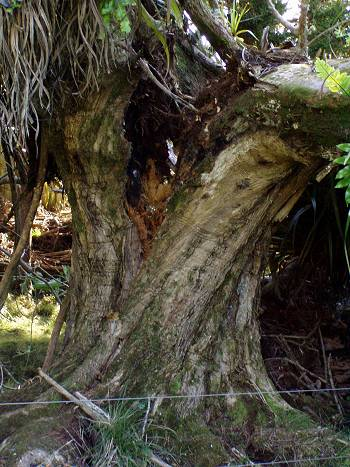 split Puriri trunk