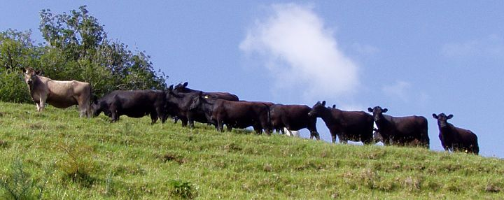 heifers on the hill