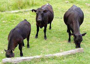 three cattle