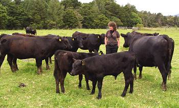 Rachel and the cows