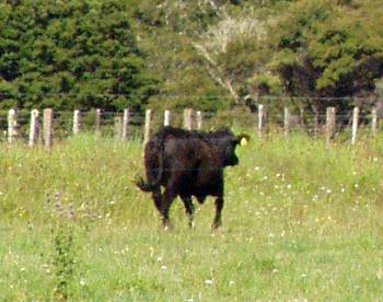 a heifer in a hurry
