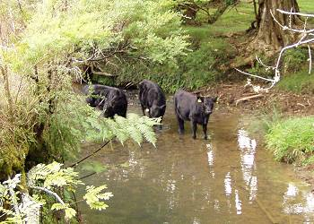 heifer calves crossing the river