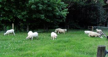 sheep in the triangle area