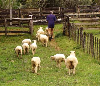 Stephan leading the sheep