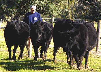 Stephan and the five cull cows