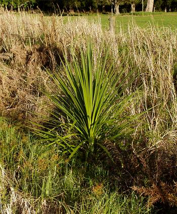 young Cabbage Tree