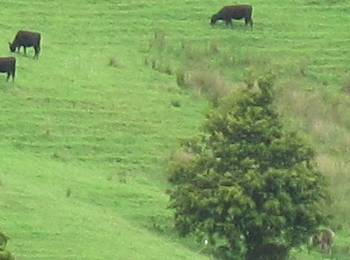 zooming in on cattle on the hill