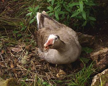 the goose on her latest nest