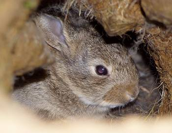 baby rabbit, at home