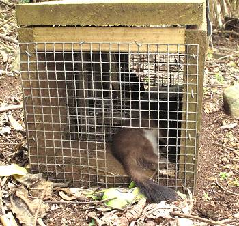 stoat caught in a trap
