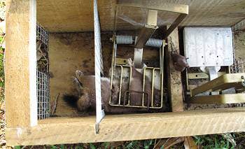 trapped and dead stoat