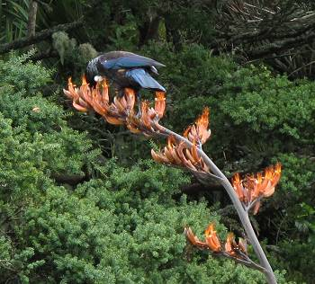 Tui dining on flax flower nectar