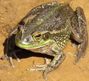 a large frog