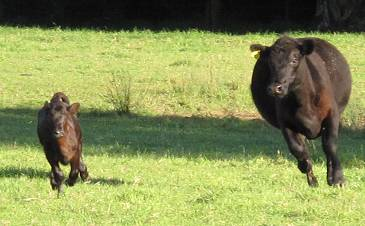 calf and cow, running