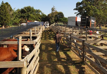A&P show cattle yards