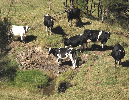cows around a shrinking dam