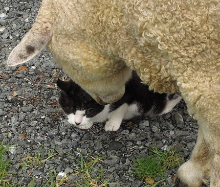 Foxton cat and the sheep