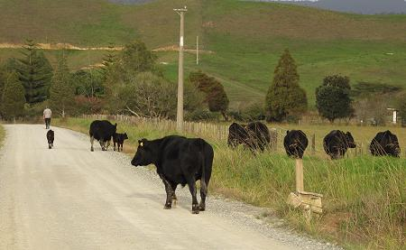droving cattle
