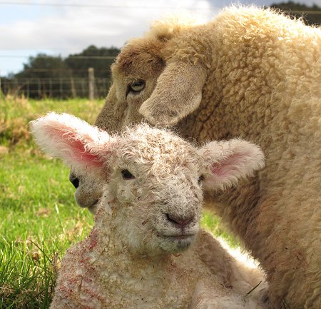 Dotty and lamb