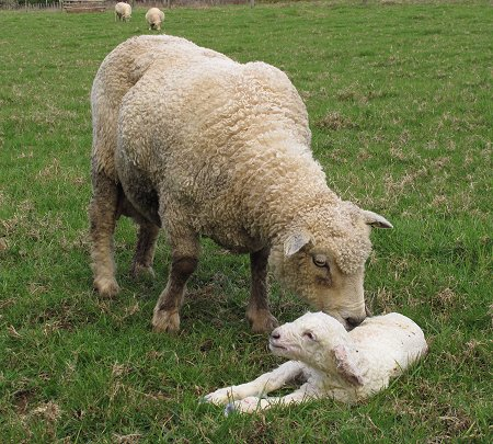 Yvette and her newborn lamb