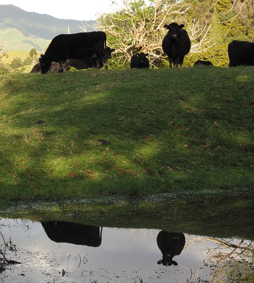 cow reflections