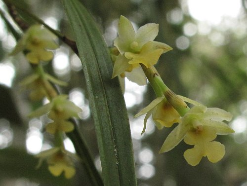 epiphytic orchids
